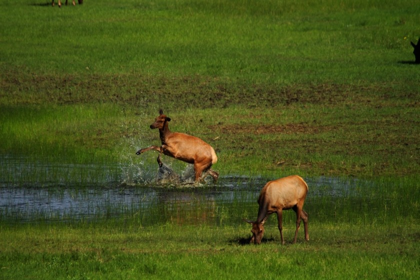 RMNP Elk Pond Frolicking