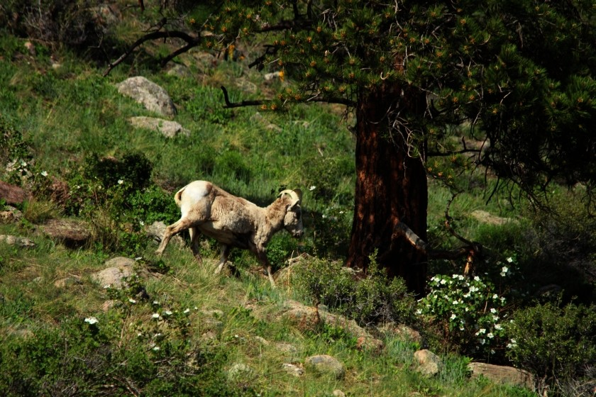 RMNP Big Horn Sheep