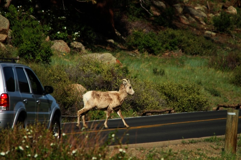 RMNP Big Horn Sheep Crossing The Road