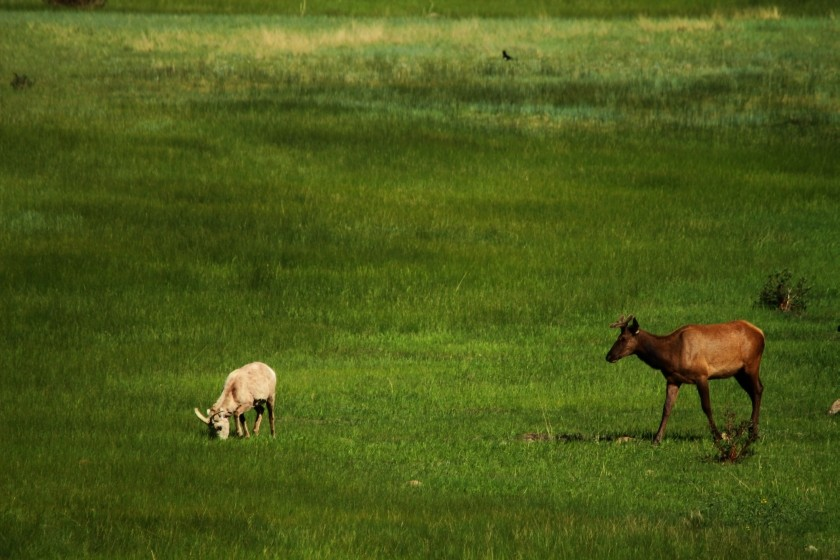 RMNP Elk and Big Horn Sheep