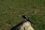 RMNP Magpie