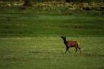 RMNP Prancing Elk