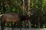 RMNP Wandering Elk