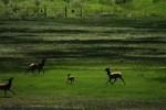 RMNP Elk Prancing