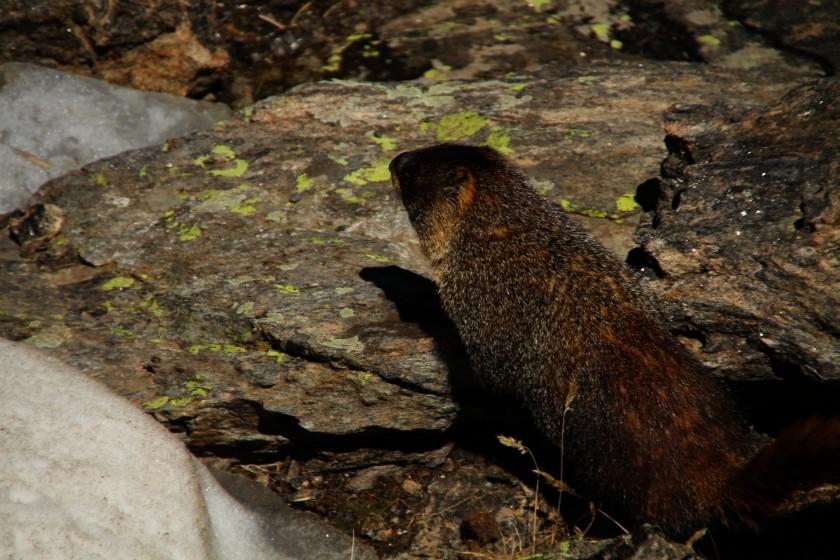 RMNP Yellow Bellied Marmot