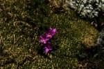 RMNP Fairy Primrose