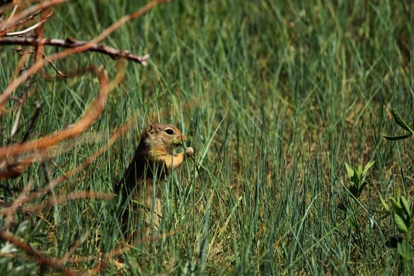 RMNP Wyoming Ground Squirrel