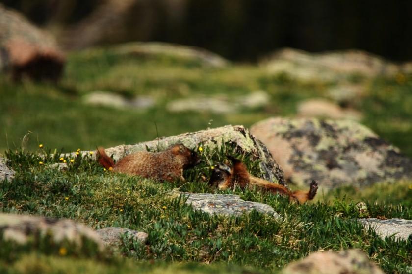 RMNP Yellow Bellied Marmots Wrestling