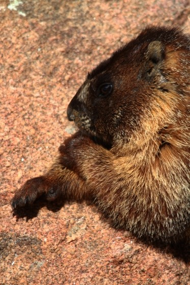 RMNP Pensive Yellow Bellied Marmot