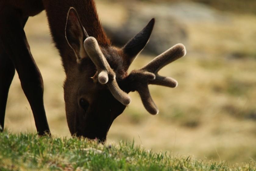 RMNP Elk Grazing