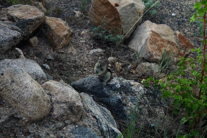RMNP Golden-Mantled Ground Squirrel