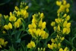 RMNP Mountain Golden Pea