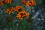 RMNP Orange Wallflowers