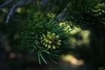 RMNP Budding Pine Cones