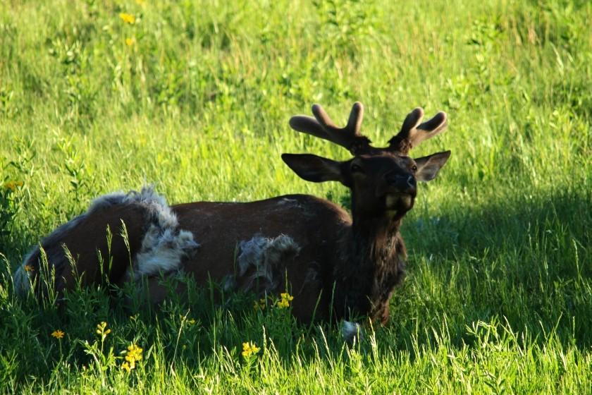 RMNP Molting Elk
