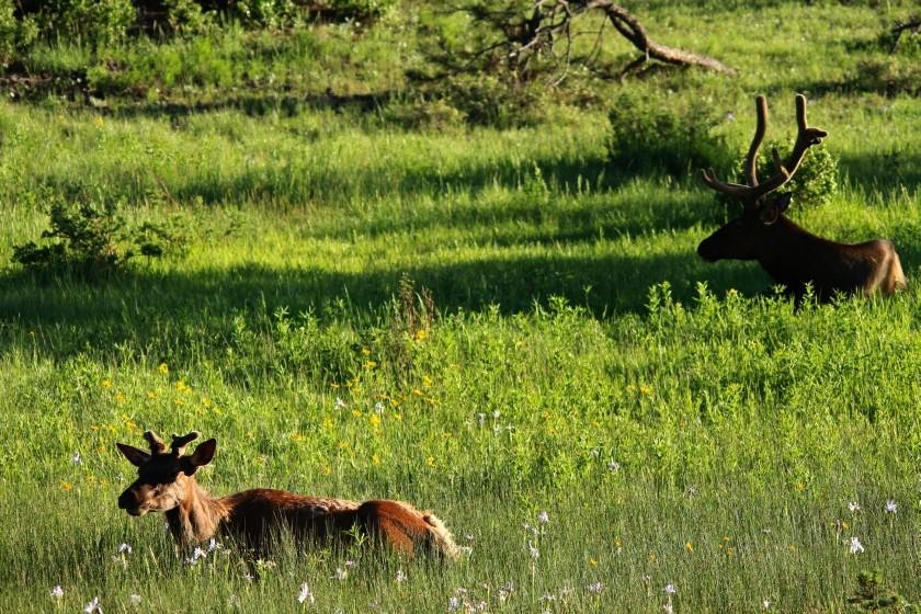 RMNP Resting Elk