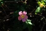 RMNP Pink Wild Rose