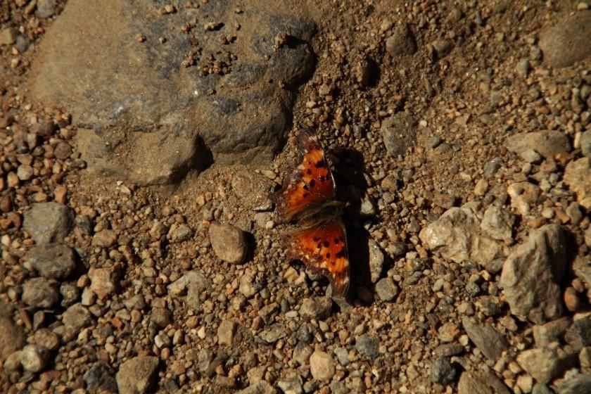 RMNP Hoary Comma Butterfly
