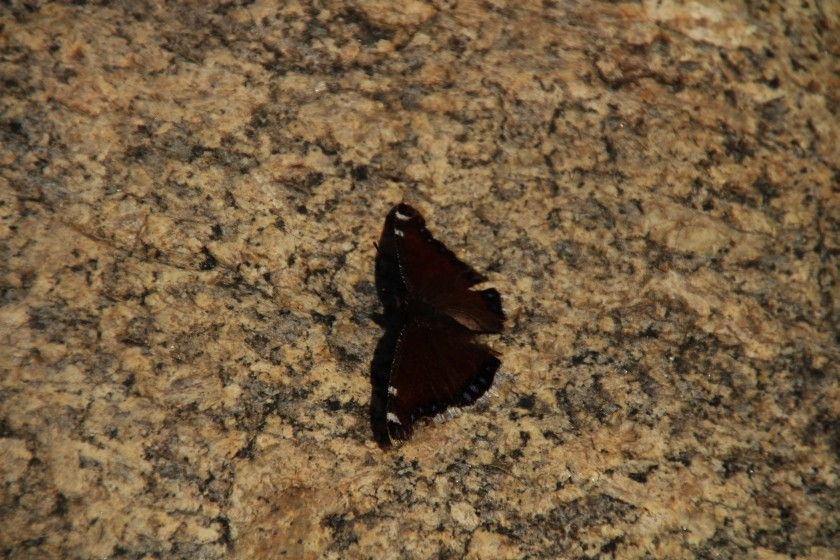 RMNP Mourning Cloak Butterfly