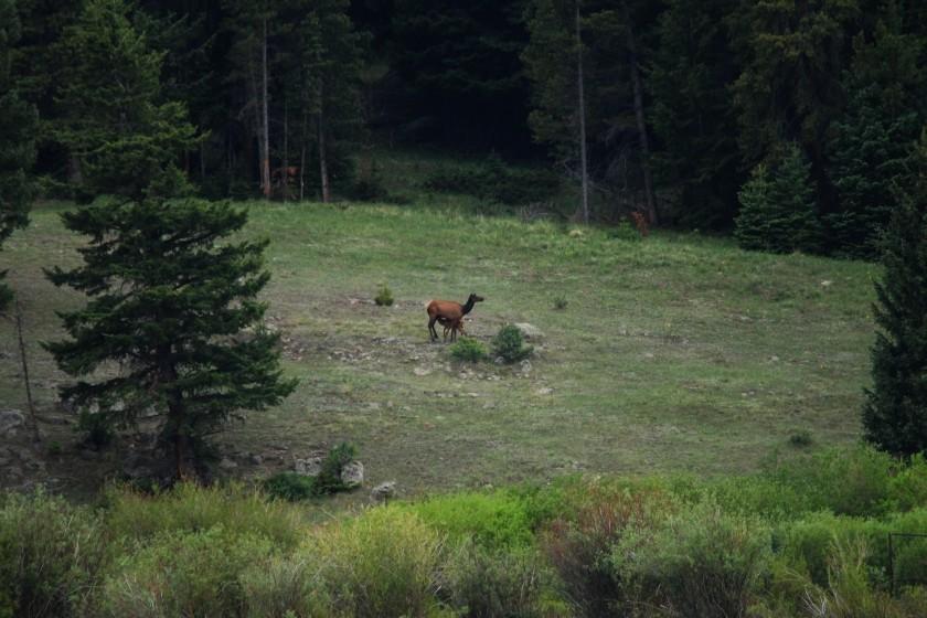 RMNP Elk Cow and Calf