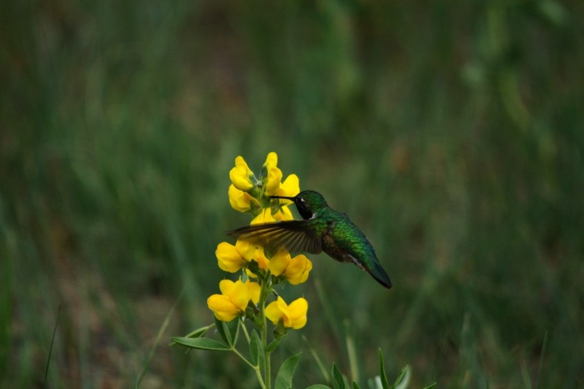 RMNP Broad-Tailed Hummingbird