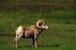 RMNP Bighorn Sheep