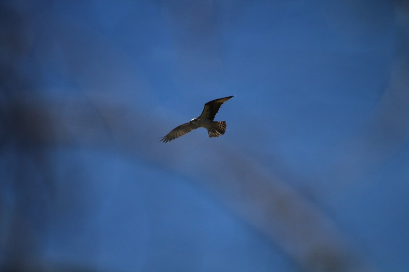 RMNP Osprey