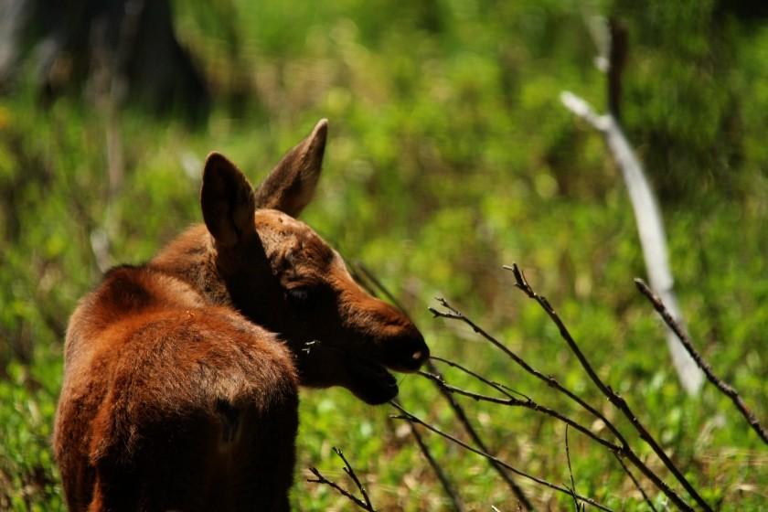 RMNP Baby Moose