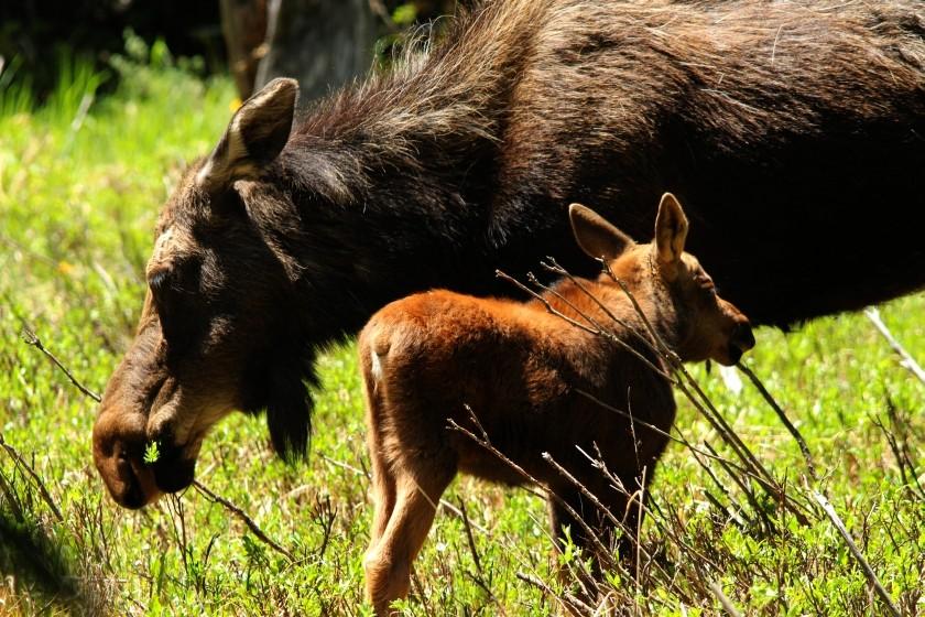 RMNP Cow And Calf Moose