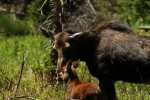 RMNP Cow And Calf Moose
