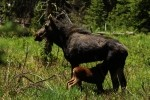 RMNP Moose Calf Nursing