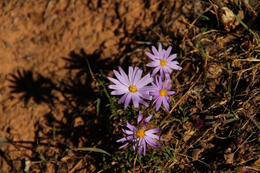 Zion NP Purple Aster