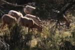 Zion NP Desert Bighorn Sheep
