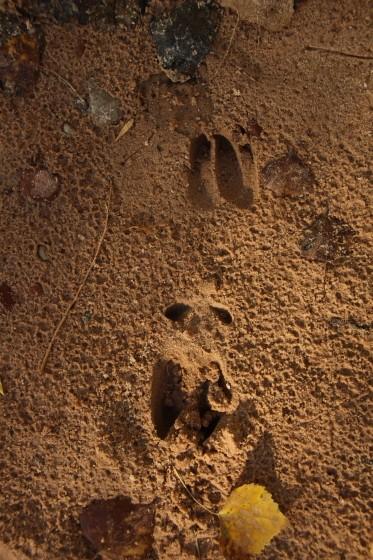 Zion NP Deer Tracks
