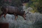 Zion NP Mule Deer