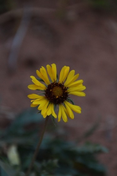 Zion NP Common Sunflower