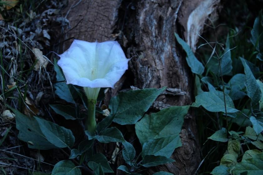 Zion NP Sacred Datura