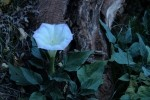 Zion NP Sacred Datura