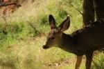 Zion NP Young Mule Deer
