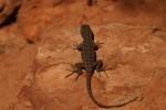 Zion NP Plateau Lizard