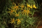 Zion NP Hairy Goldenaster