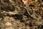 Zion NP Common Sagebrush Lizard