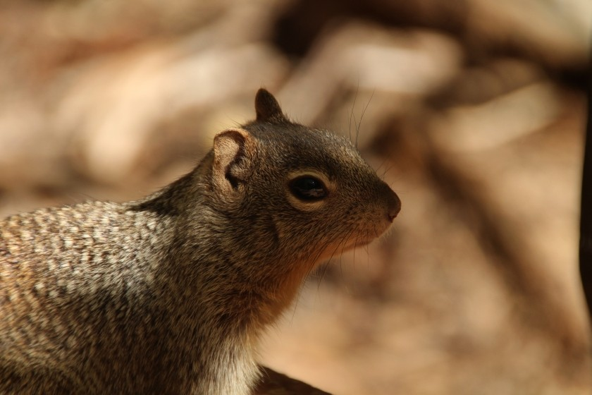 Zion NP Rock Squirrel