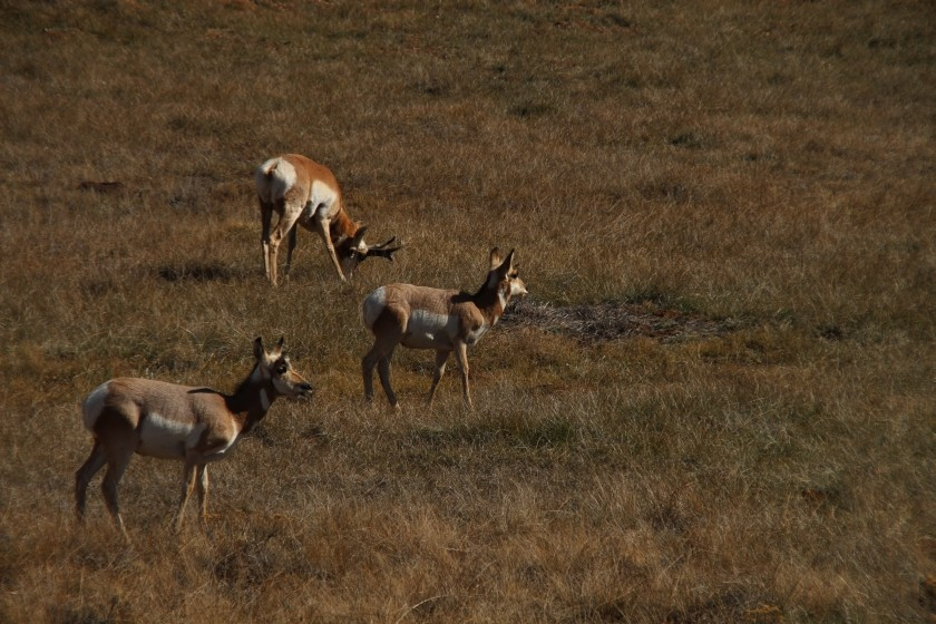 Bryce Canyon NP Pronghorn