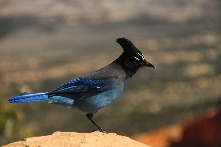 Bryce Canyon NP Steller's Jay