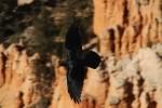 Bryce Canyon NP Raven
