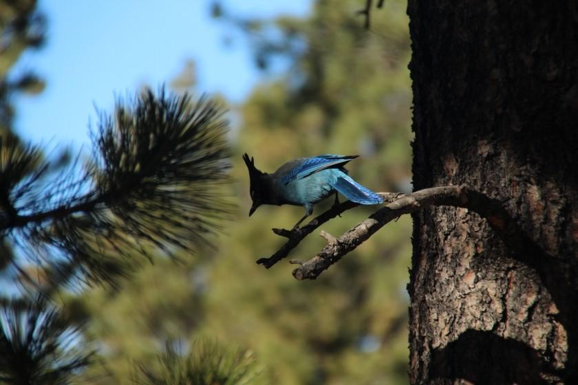 Bryce Canyon NP Stellar's Jay