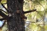 Bryce Canyon NP Chipmunk