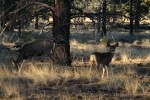 Bryce Canyon NP Mule Deer