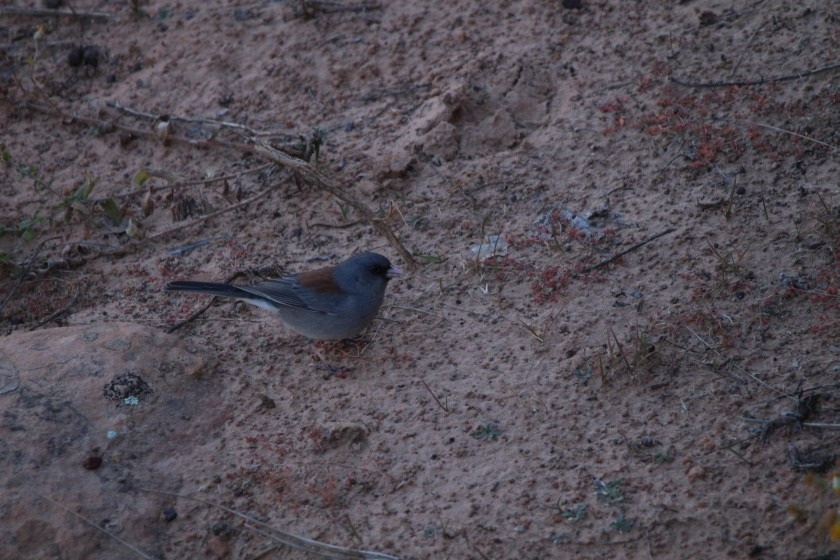 Zion NP Gray Headed Dark Eyed Junco